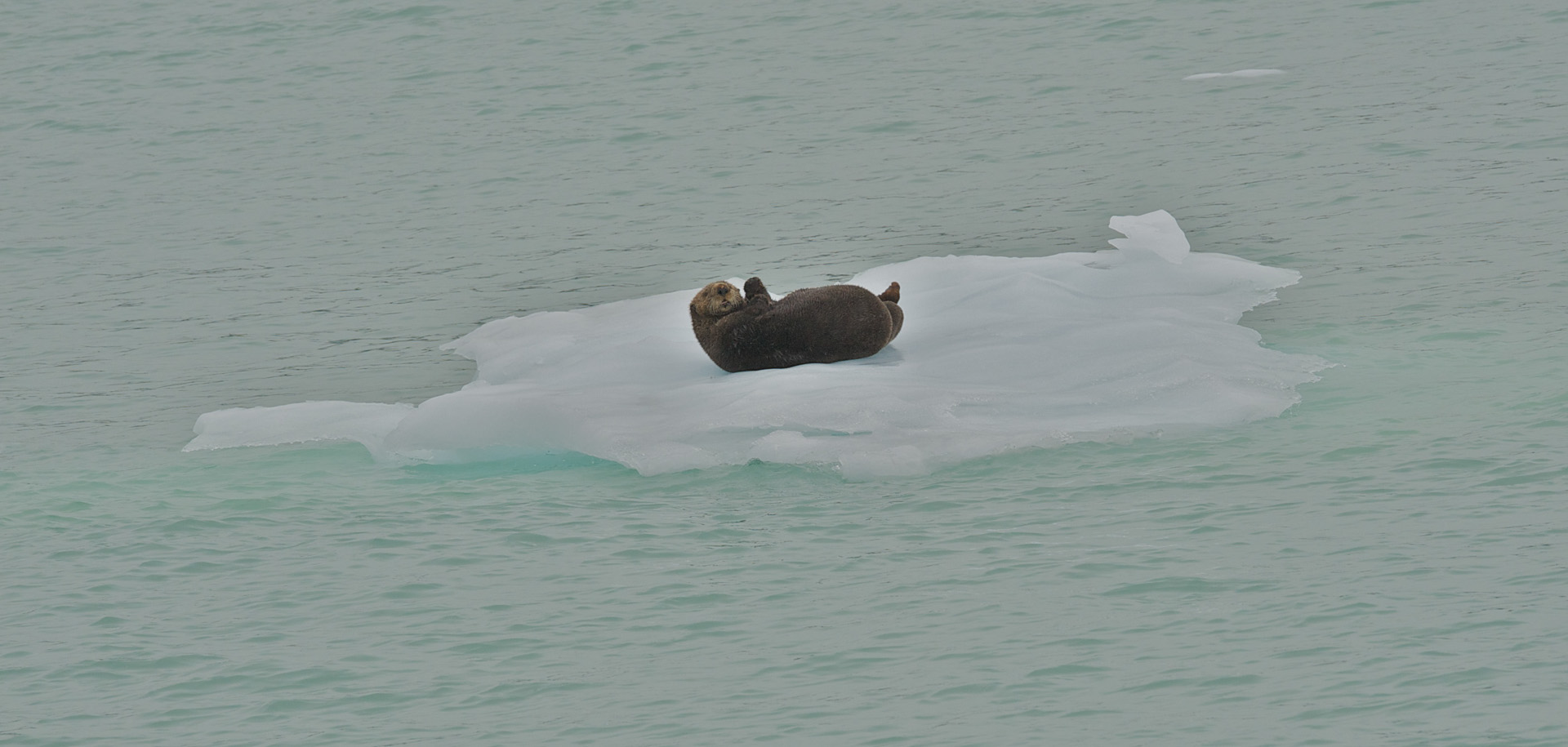 A sea otter on an ice berg.