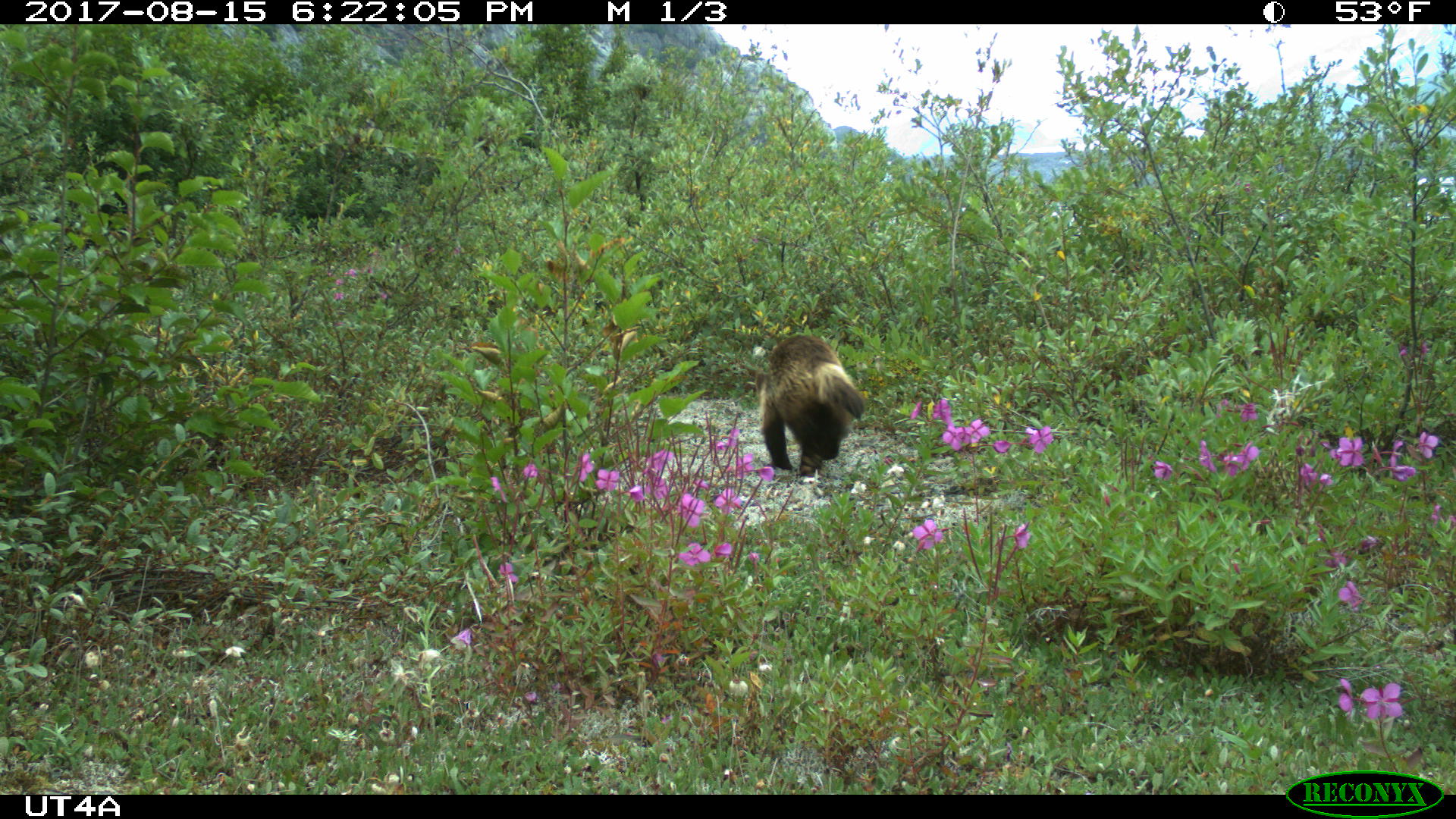 wolverine runs by a motion sensor camera