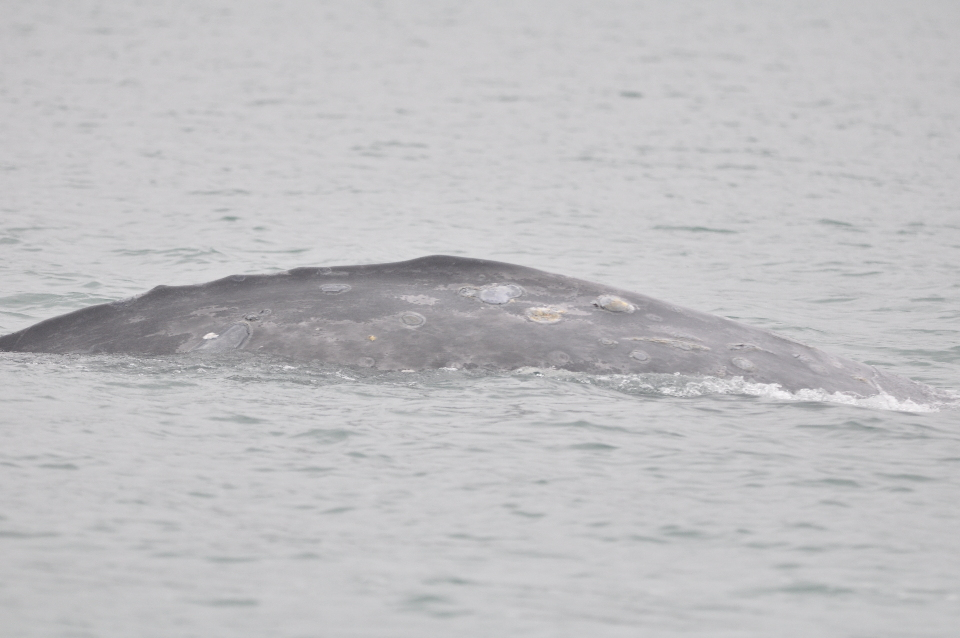 gray whale flank