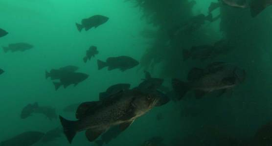 fish in kelp forest