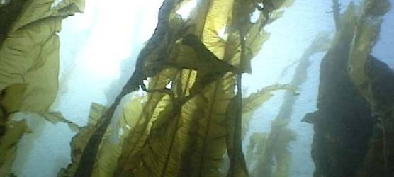 kelp forest picture