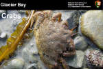 Glacier Bay Crab research presentation