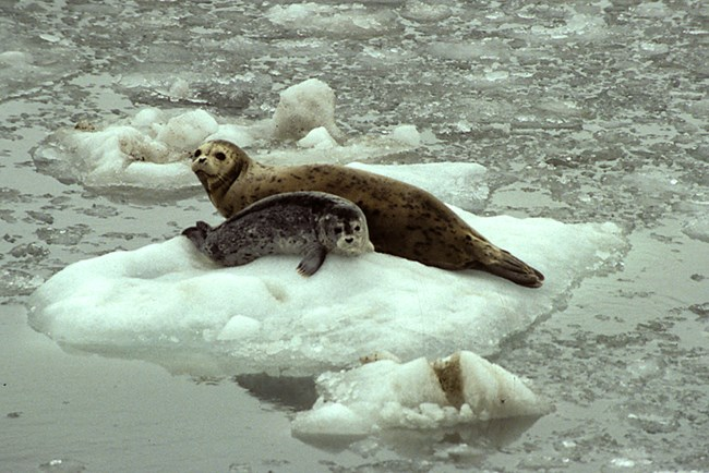 Adult and juvenile harbor seal on an iceberg