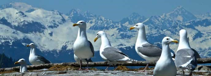 Glaucous winged gulls at South marble Island