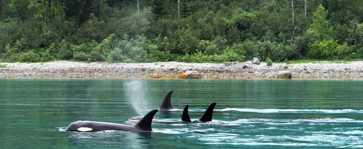several orcas swim in turquoise waters near a forested shore