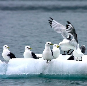Black-legged kittiwakes on an iceberg