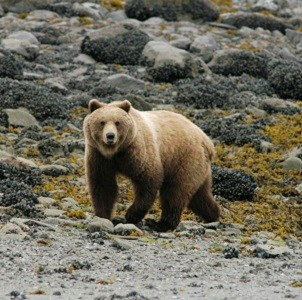 A brown bear in the intertidal zone