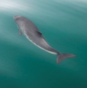 Harbor porpoise swimming