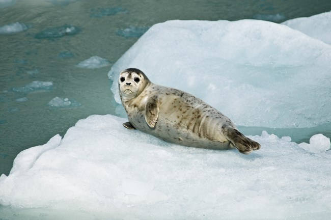 Harbor Seal Pup on Iceberg