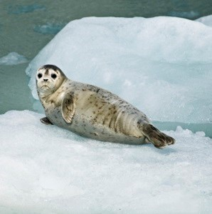 A harbor seal pup rests on an iceberg