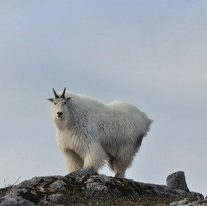 A mountain goat at the top of a cliff