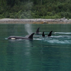 A pod of orcas swimming