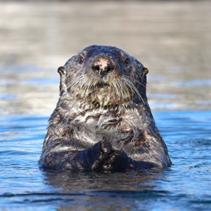 A sea otter pokes its head out of the water