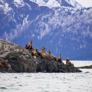 Stellar sea lions hauled out
