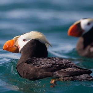 Two tufted puffins swimming