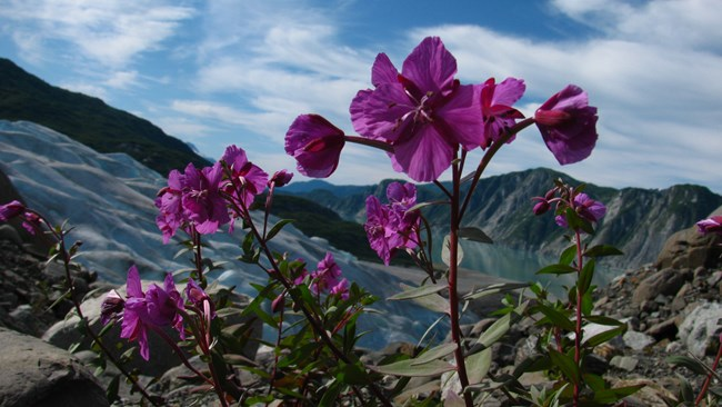 Fireweed growing near a glacier