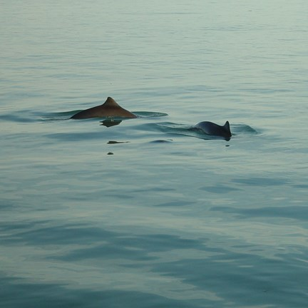 two harbor porpoises swimming