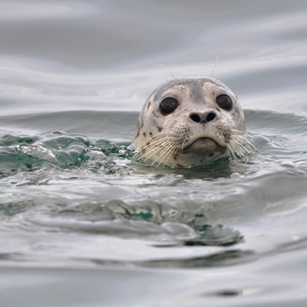 harbor seal pokes head out of water