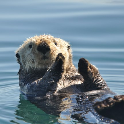 sea otter floating on back