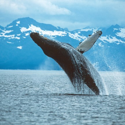 humpback whale breaching out of water