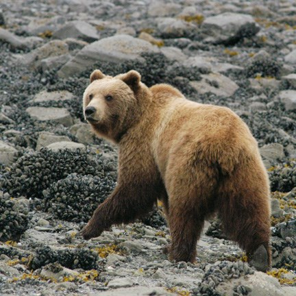 brown bear walks the rocky beach