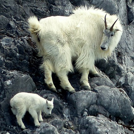 Nanny and kid goat on a cliff