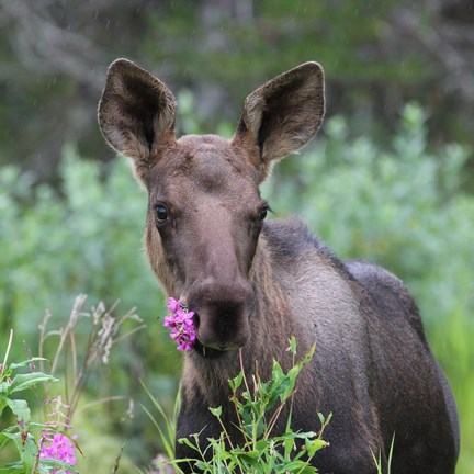moose eating fireweed