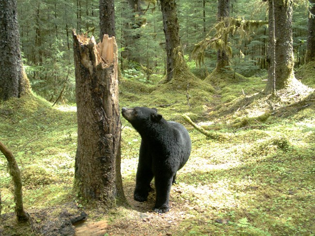 black bear sniffs tree stump