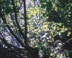 Looking through the dense foliage of an alder thicket