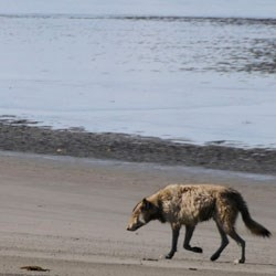 wolf on the beach