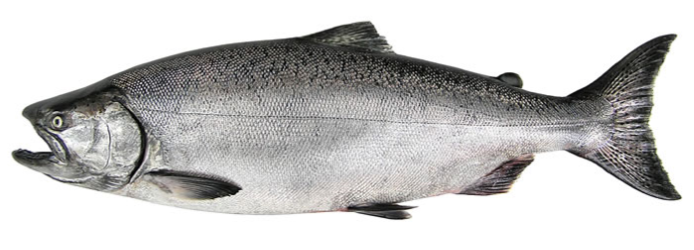 a chinook salmon in ocean coloration