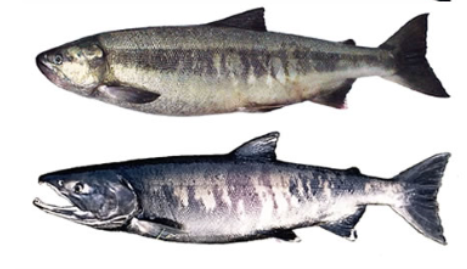 a male and female chum salmon in spawning colors on a white background