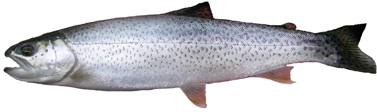an image of a coastal cutthroat trout in ocean coloring
