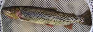a coastal cutthroat trout showing spawning coloration in a net