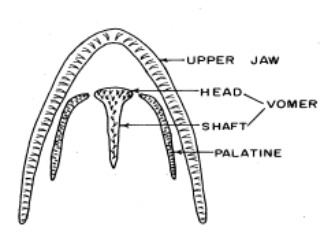 an illustration of the location of teeth on the roof of a cutthroat trout mouth