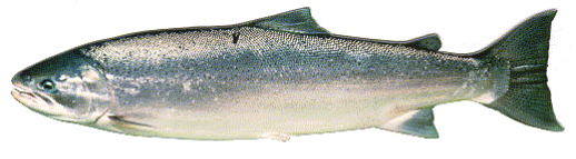 an image of a coastal rainbow trout in its ocean coloration on a white background