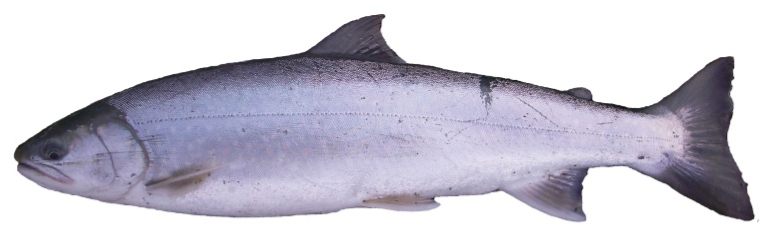 an image of a dolly varden char fish on a white background
