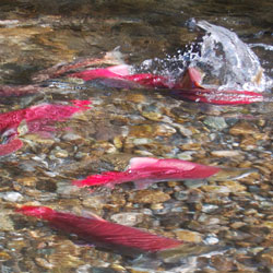 salmon in stream