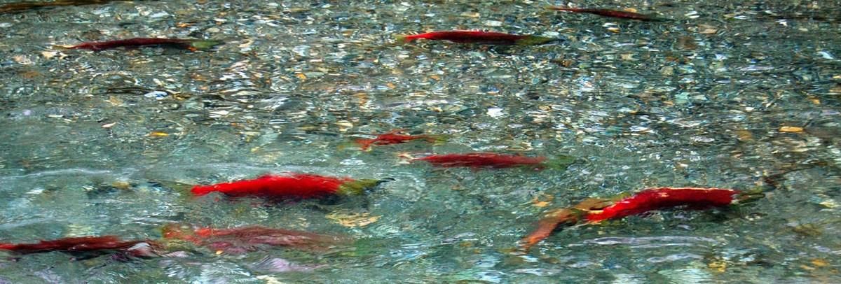 several colorful red sockeye salmon swim in a river