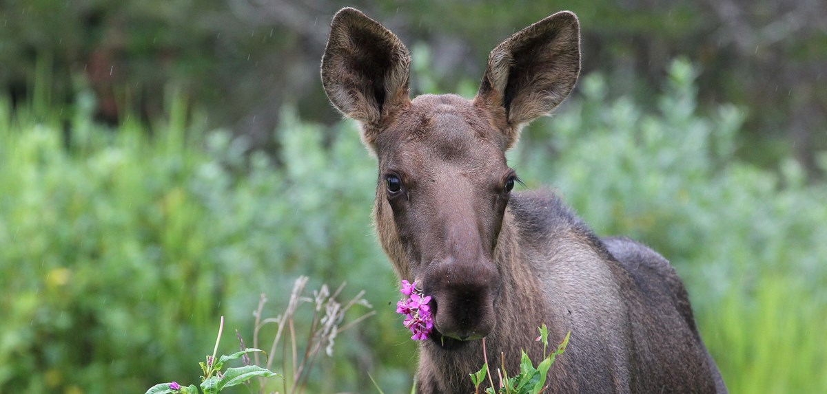 a young moose with a flower in its mouth stares at the camera in the spring