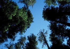 Looking up at open forest canopy