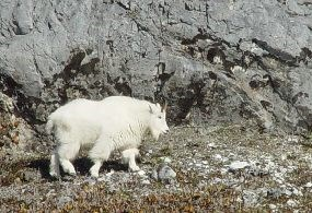 mountain goats were an early arrival to Glacier Bay's recently deglaciated landscape