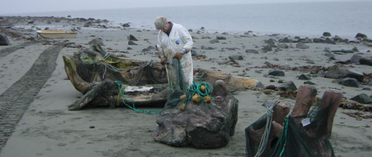 Volunteer helps retrieve bones from Gustavus Beach.