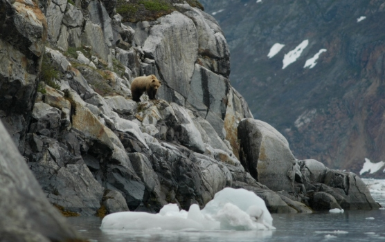 brown bear in Johns Hopkins Inlet