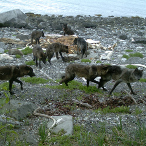 wolves and whale carcass