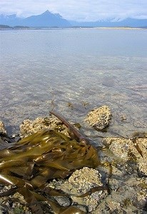 a clump of bull kelp on the shore in front of ocean and mountains