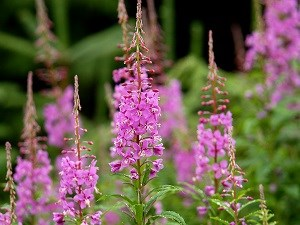 fireweed plants in bloom