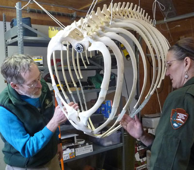 Killer Whale Articulation Glacier Bay National Park