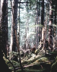 Mature spruce and hemlock forest
