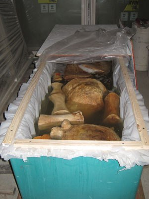 Bones soaking in peroxide tank to help brighten and remove stains